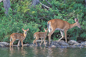 A pair of Red-tail Deer fawns follow behind Mom.